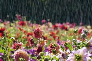 hujan bunga