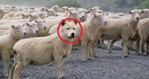 serigala domba